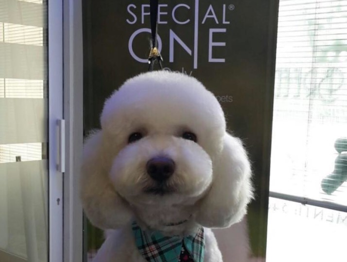 Bichon Frise Styled With Special One at Best Of Breed